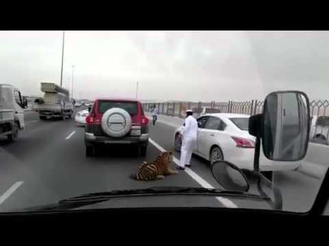 Qatar: Tigre se suelta en una autopista de Doha, en Qatar