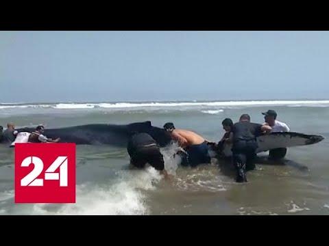 Жители Перу спасли выброшенного на берег кита - Россия 24