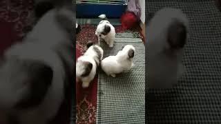 Dogs shih tzu