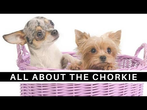 All About the Sweet and Sassy Chorkie (Chihuahua Yorkie mix)