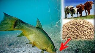 Реакция рыбы на КОРМ ДЛЯ СКОТА Линь Карась Подводная съемка