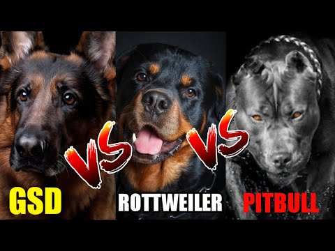 German Shepherd vs Rottweilers Vs Pitbull / In Hindi / Dog vs Dog
