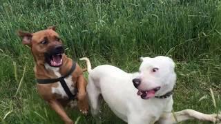 Dogo Bakımı (kulak kesimi, mama tavsiyesi ve davranışlar)