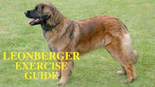 Leonberger Dog Exercise [Needs and Ideas]