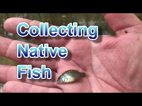 Native Fish Collecting: First Trip For 2018 - YouTube
