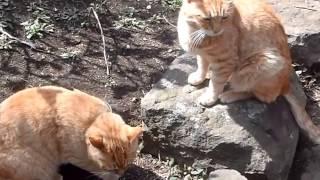 関東から沖縄まで街猫大好きな猫にいさんが探訪する街猫紀行です。湘南某所にある神社の周囲の公園にはたくさんの街猫がいます。赤トラの「...