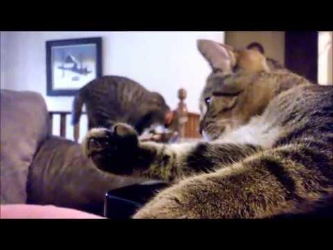 Sage & Zippy Vidro Polydactyl Cats 2014