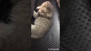 Без кота жизнь не та!) шотландская вислоухая кошка, наш ребёнок , 3 месяца