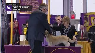 Dandie Dinmont Terriers | Breed Judging 2019