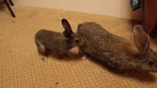 Домашний заяц Маруся против кроликов