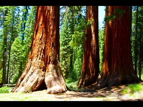 Yosemite: Mariposa Grove of Giant Sequoias Hike (in HD)