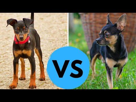 Chihuahua vs Miniature Pinscher Comparsion