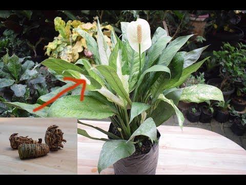 rahasia-!cara-memperbanyak-bunga-peace-lily-dari-bonggol