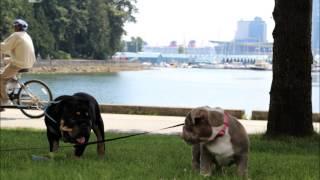 The Bulldog Connection Tbc Rare Colored Bulldogs