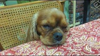 Cute Cavalier King Charles Spaniel Puppy Goes To Sleep