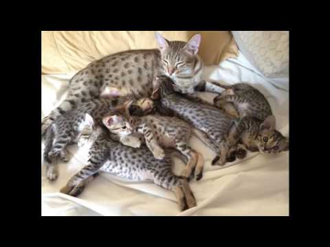 Savannah Cat and Kittens | History of the Savannah Cat Breed