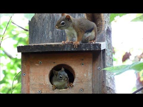 Red Squirrel Alarm and Bark Calls