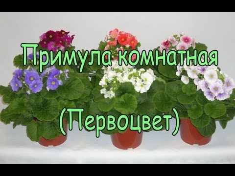 Первоцвет или Примула — Primula описание и уход на