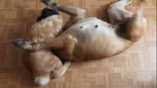 Kurilian Bobtail Cat VS Boxer Dog / Курильский бобтейл против немецкого боксера