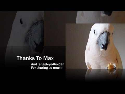 """""""You've Got A Friend In Me"""" Biko Watching Max  --Parrot To Parrot"""