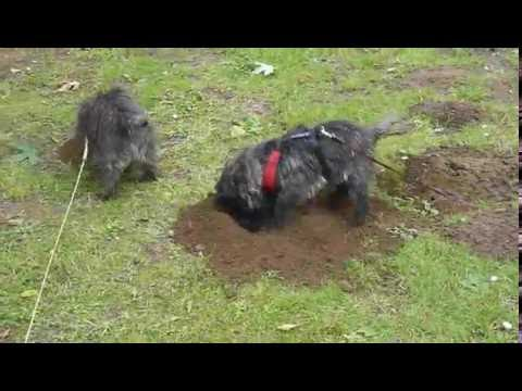 Cairn Terriers mole hunting