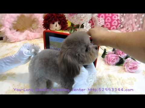 Pocket-Super Tiny Teacup Poodle #101  body proportion show