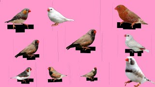 Top 10 Beautiful Zebra finch