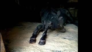до слез)...спасенная лошадь с бойни,преданность и благодарность