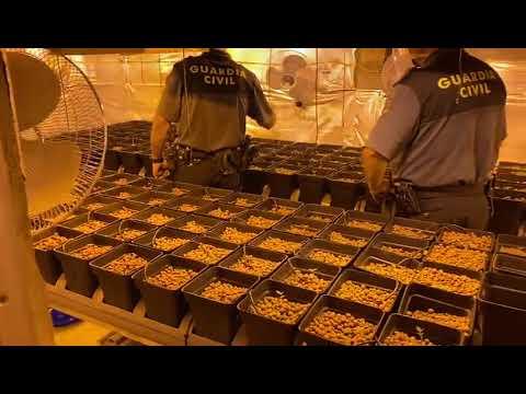 La Guardia Civil desmantela una plantación de marihuana en Tomiño