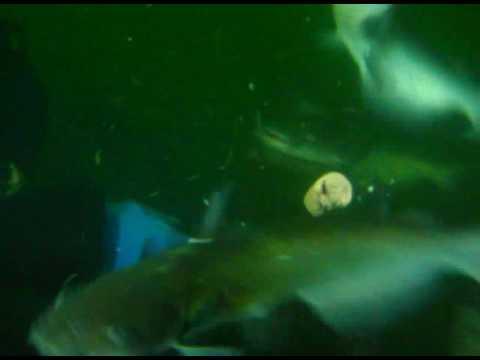 West Virginia Shark Feeding