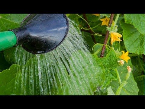 Настой ЧЕСНОКА избавит от ВРЕДИТЕЛЕЙ и болезней растений!
