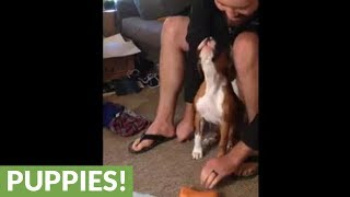 Boxer puppy adorably howls at squeaky toy