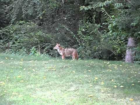 Coyote in backyard. Monroeville, Pa. - YouTube