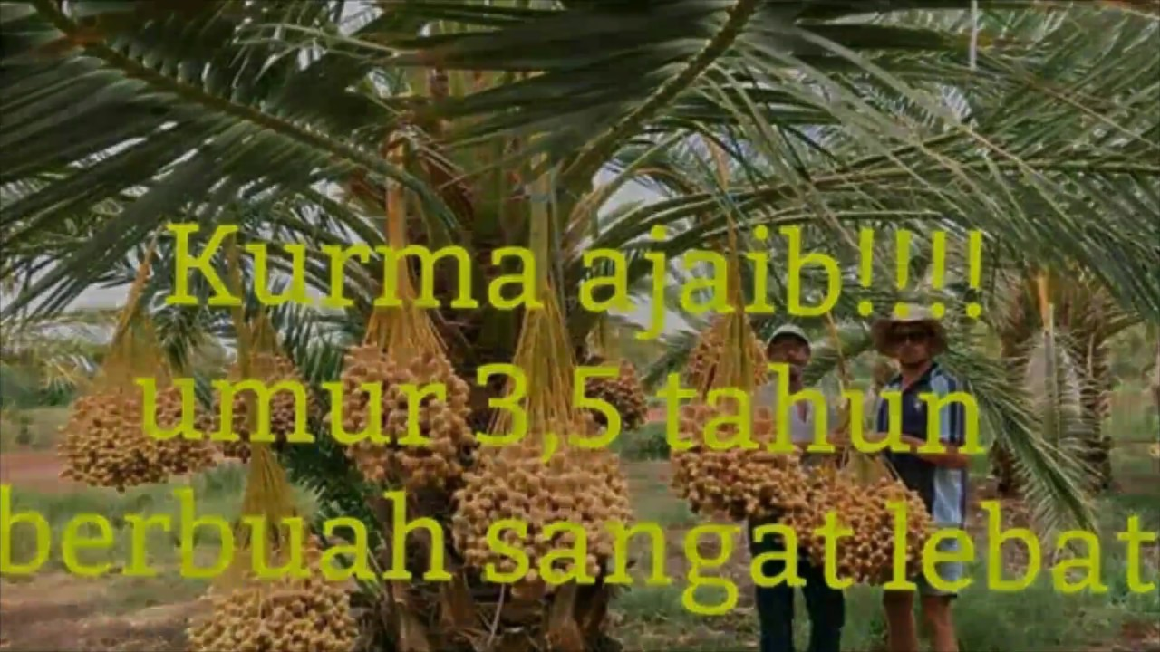 Video Kebun Kurma Di Indonesia