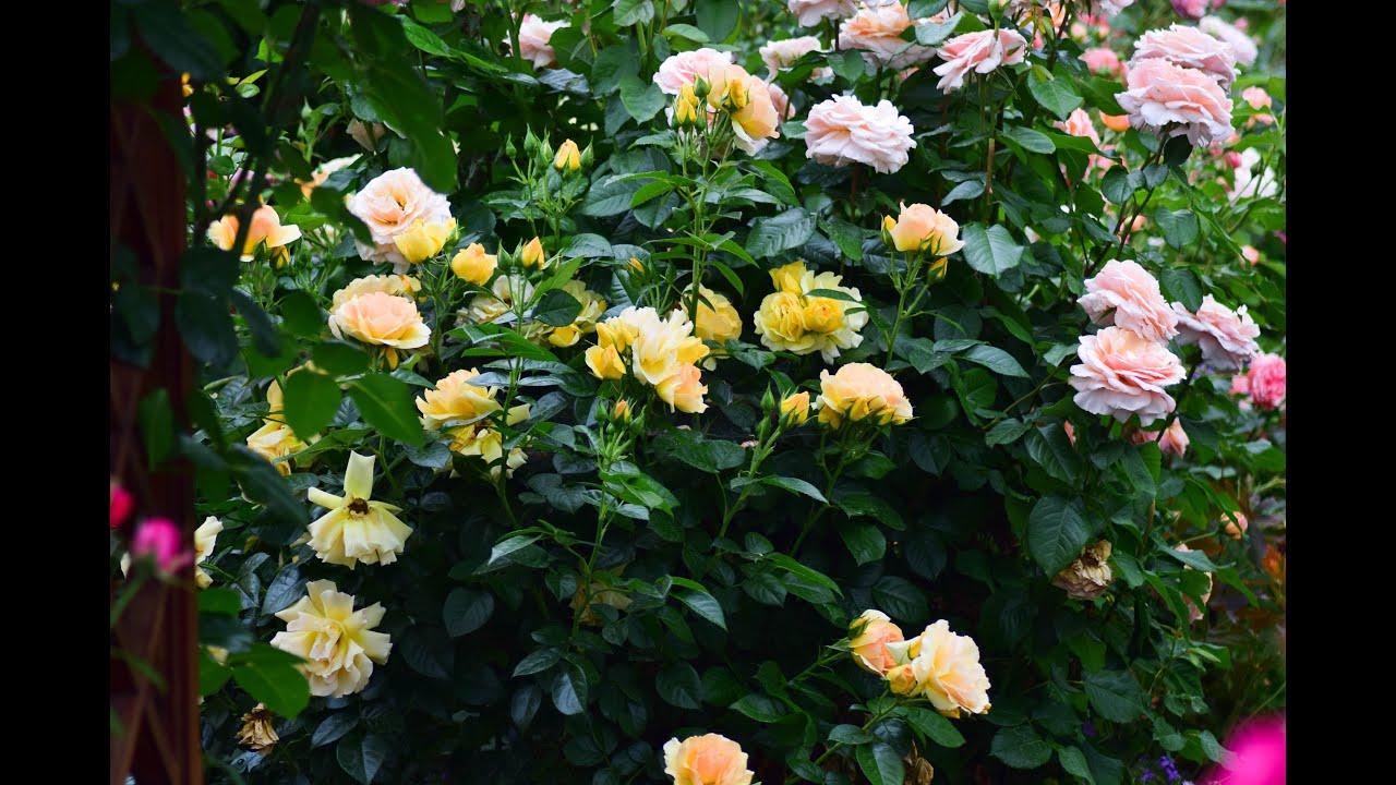 Чайно-гибридные розы. Топ 10 моего сада