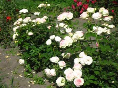 Роза Пьер де Ронсард. Цветение после усиленной зимней обрезки.