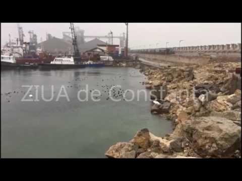 Imagini de colecţie. Circa 200 de lebede în portul Constanţa