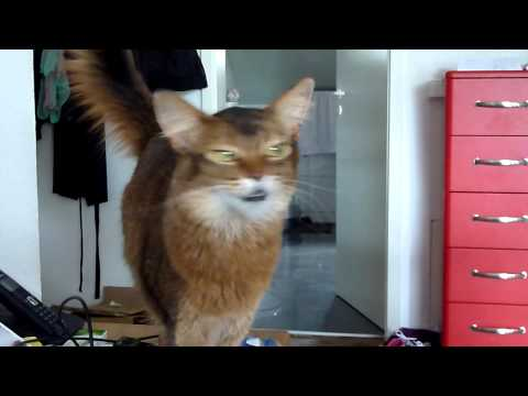 Polly - The Somali Cat - Polly wants to play - Beautiful Voice