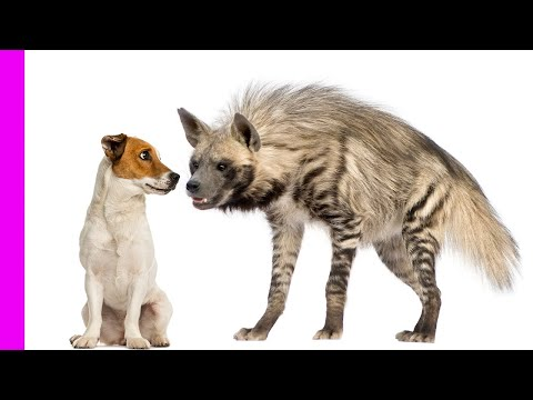 Nanny dog babysits hyena, cheetahs & baboons | Unlikely Animal Friendships | Love Nature
