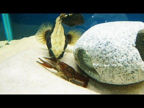 ALIEN FISH FEEDS On LIVE CRAWFISH!