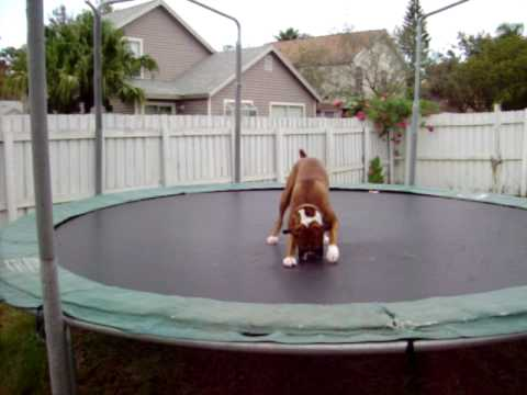The Trampoline Dog