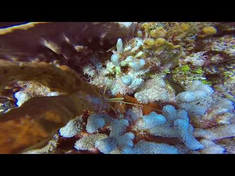 SWS customer videos   Awesome Arrow Crab