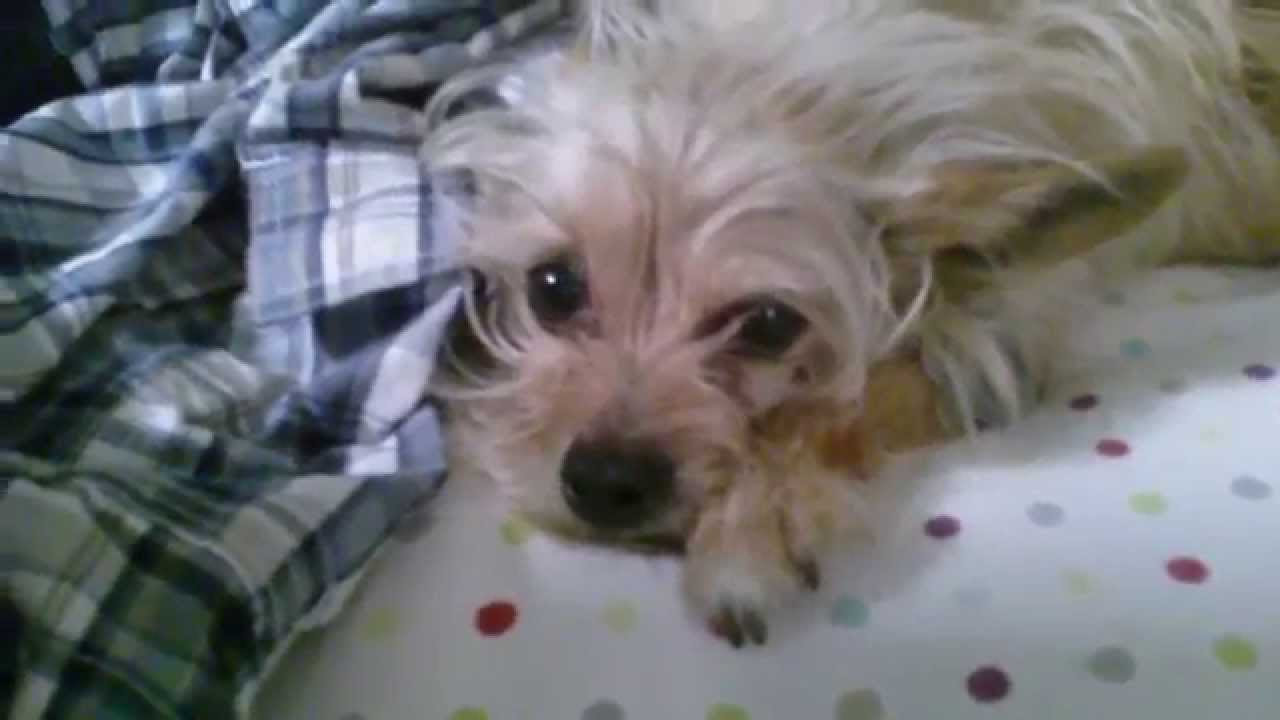 Seizure Time For Our Yorkie Terrier Chihuahua Mix Doggie 4 10 14