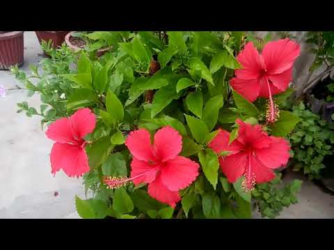 796 Steps For A Healthy Hibiscus Plant Control Of Mealybugs