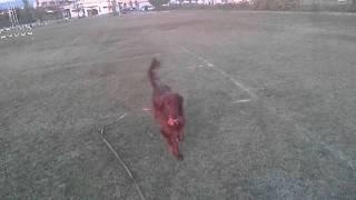 美しい犬種アイリッシュセターには夕日が似合うと思わない?