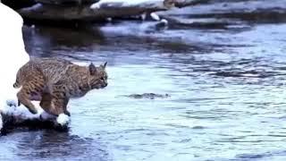 Bobcat Makes Really Long Jump Looks Easy