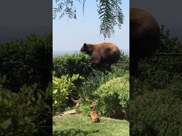 Dogs spook bear