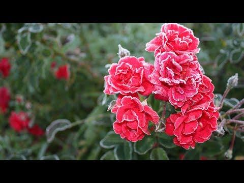 Как пересадить розу Пересадка розы в октябре