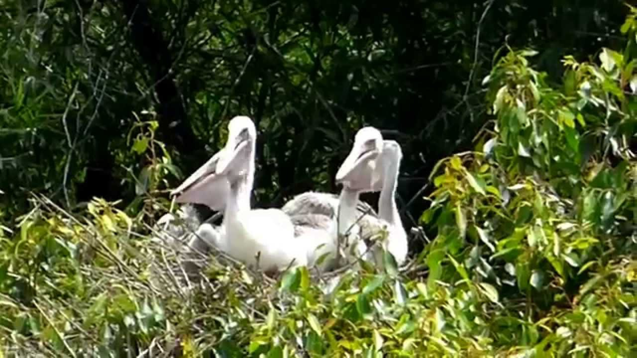 birds in their natural habitat pelicans in the nest youtube