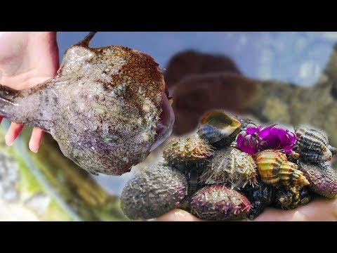 小章赶海运气棒,海星都是成双成对的捡!还收获大海螺和猫眼螺。  【赶海小章】